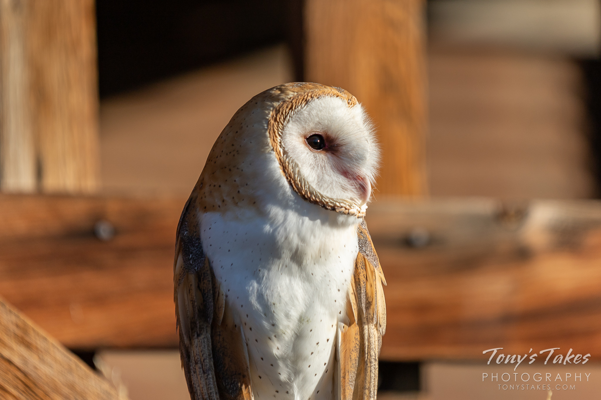 Profile of a barn owl