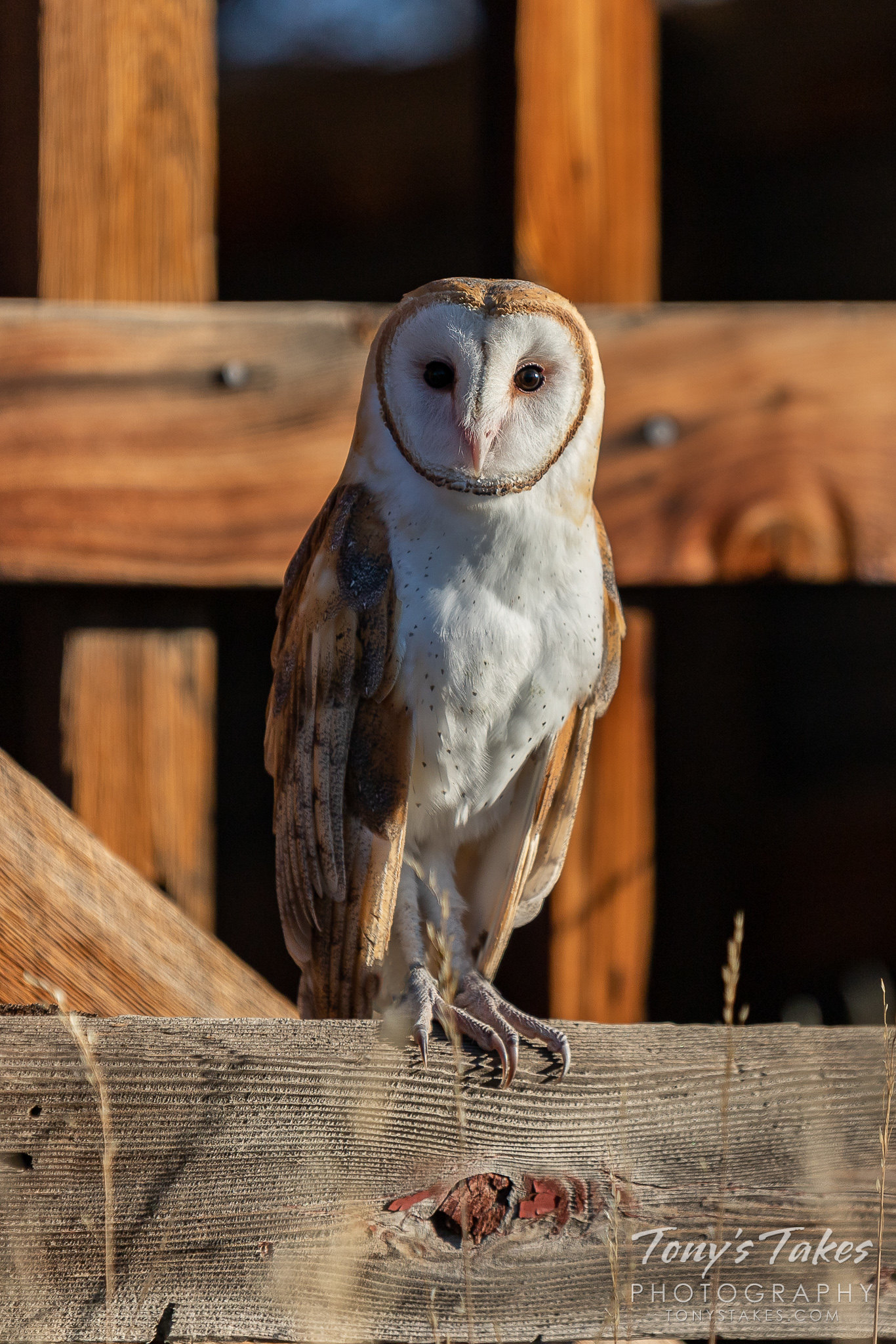 Barn owl hanging out at the barn