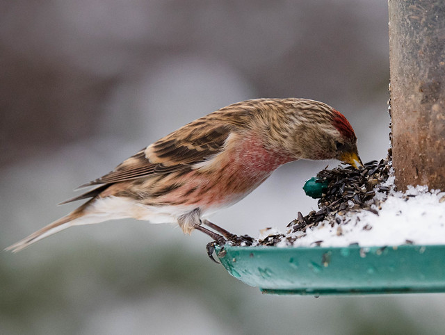 Male Lesser Redpoll in Winter