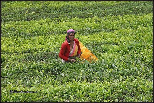 teagardens plucking leaves nilgiris ooty tamilnadu india canoneos6dmarkii tamronef28300mm