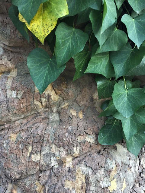 Ivy on Sycamore