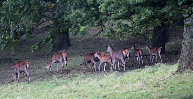 Fallow Deer at Harewood House