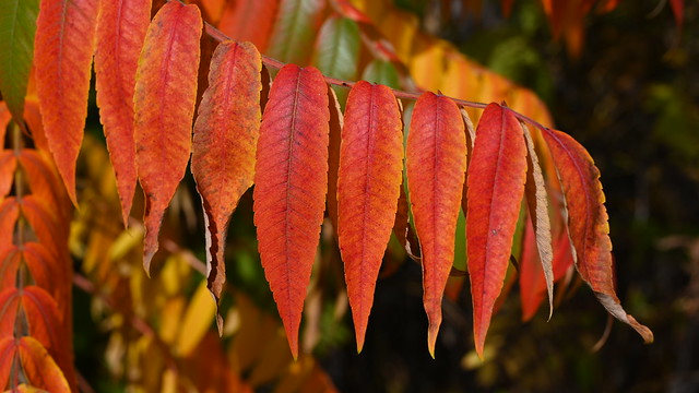 Farben des Essigbaum
