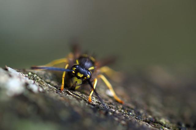 Wespe / Wasp (Vespula germanica)