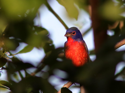 Painted Bunting male 01-20191015