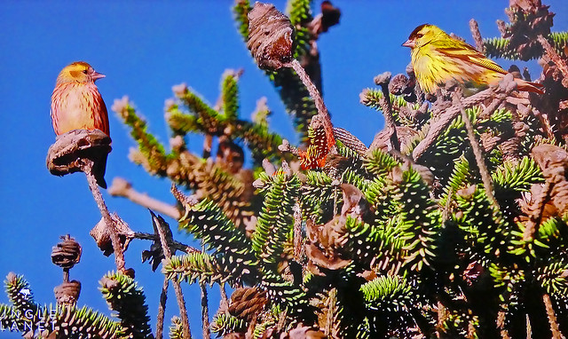 SPAIN - Two birds at the top of a fir tree
