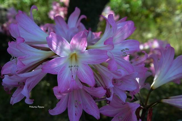 1_Amaryllis bella-donna