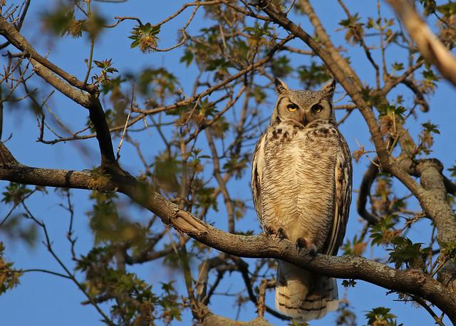 Great Horned Owl...#4