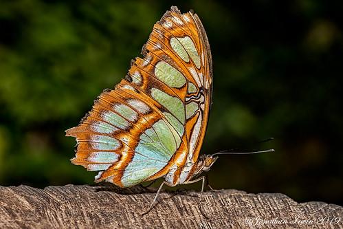 Butterfly_E5A7459
