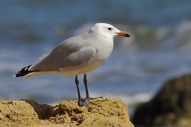 Gaivota de Audouin - Larus audoinii - Andouin`s gull
