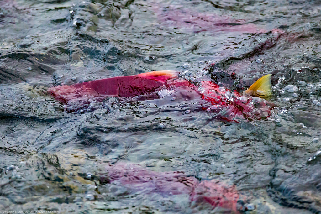 Brooks River Alaska 01 Sockeye 28aug19 fb (1 of 1)