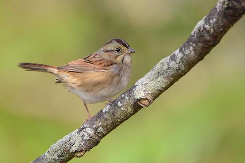 birds nikon nikond7100 tamronsp150600mmf563divc jdawildlife johnny portrait closeup eyecontact sparrows sparrowswamp swampsparrow wow gorgeous brilliant