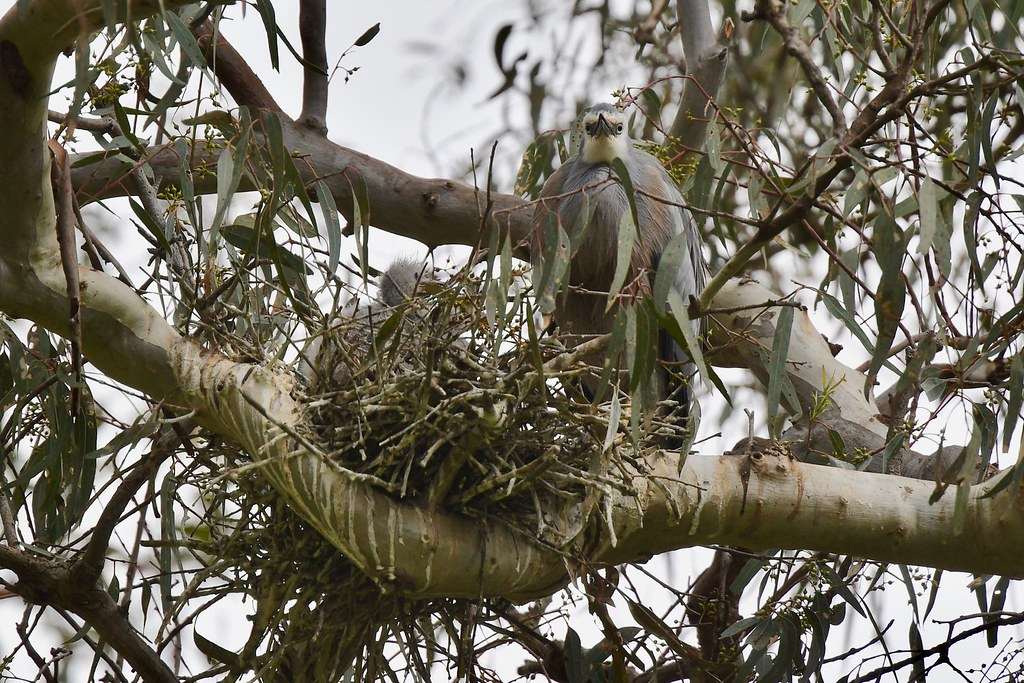 White-faced Heron ( family )