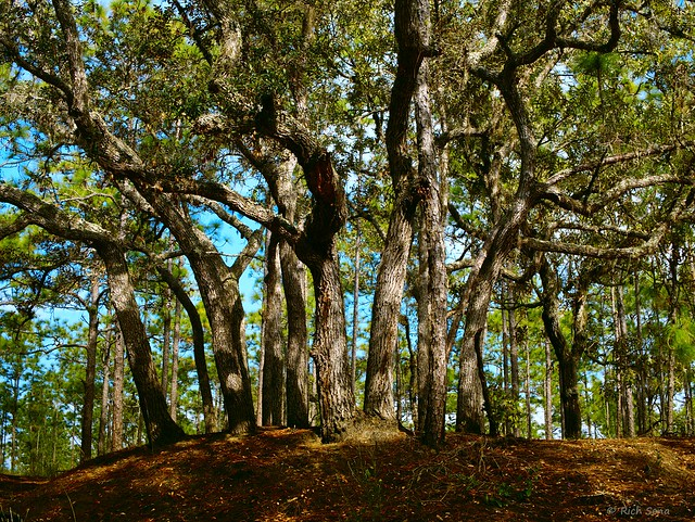 Stand of Live Oaks