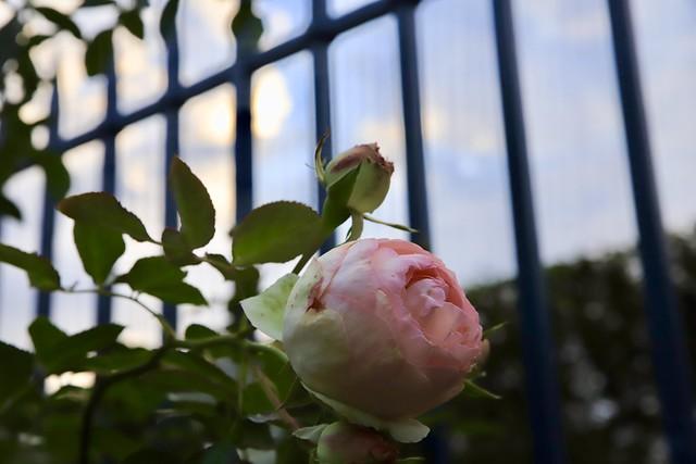 Mon amie la Rose ...