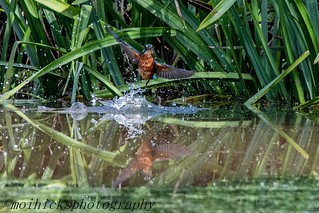 Kingfisher 2 (4 of 5)
