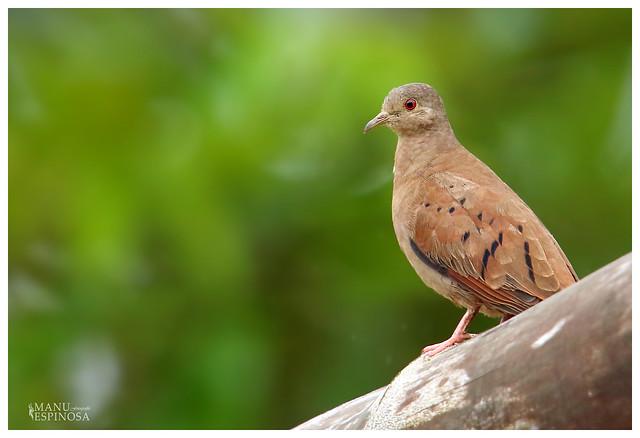 Tortolita Colorada, Columbina talpacoti, Ruddy Ground-Dove. Sucumbios, Ecuador.
