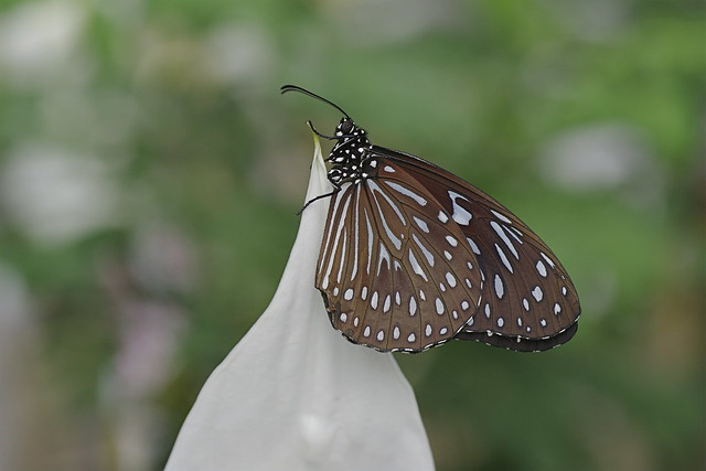 Dark Blue Tiger Butterfly - Tirumala septentrionis