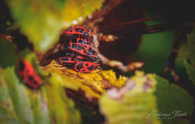 Feuerwanzen | Pyrrhocoridae I