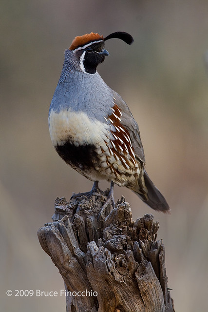Male Gambel's Quail On Perch