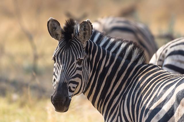 Zebras in Moremi