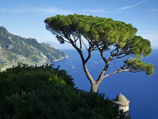 An umbrella pine in Anacapri