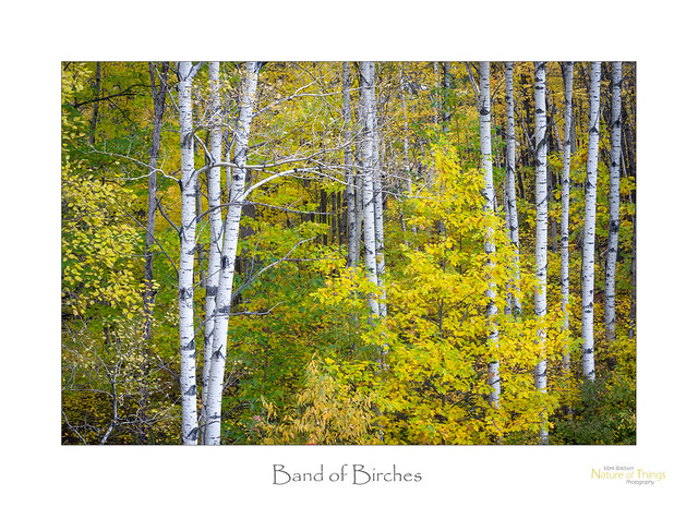 Band of Birches