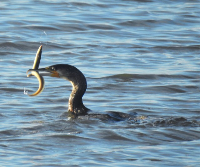 Cormorant and Eel .. Slippery Meal