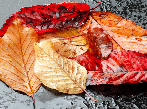Autumn Leaves No. 2.