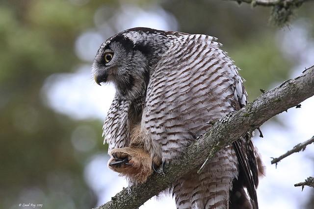 1.06020 Épervière boréale / Surnia ulula caparoch / Northern Hawk Owl