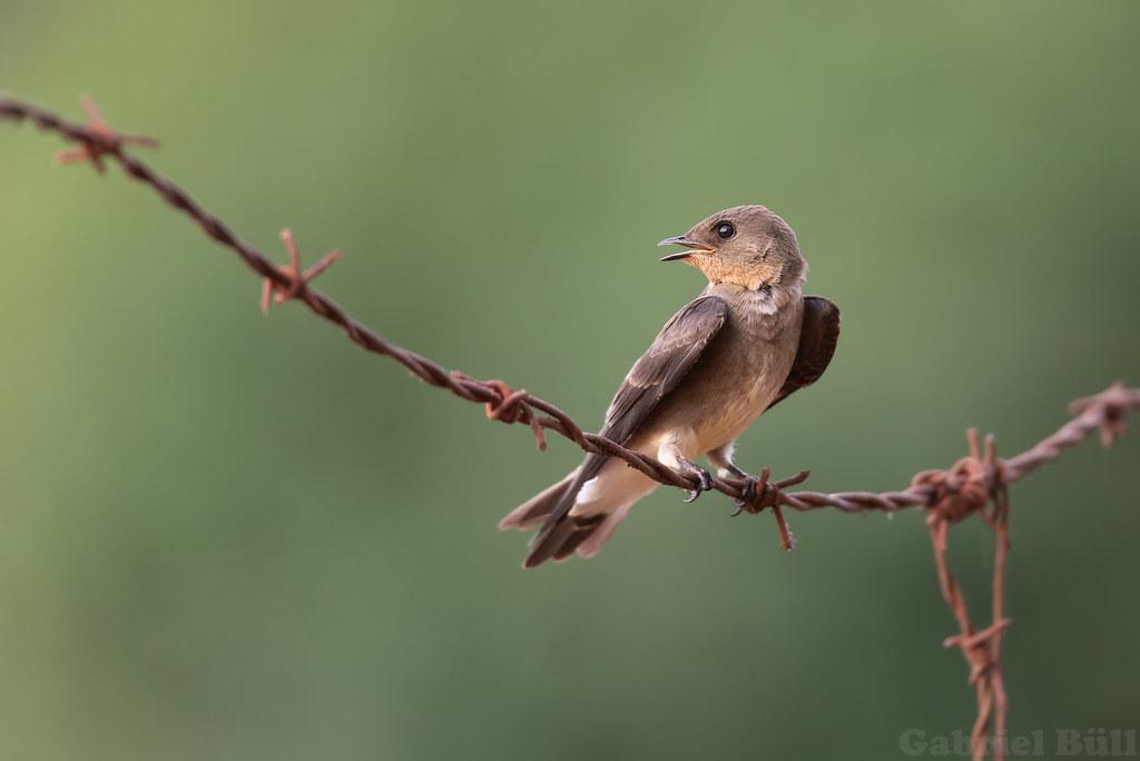Southern Rough-winged Swallow - andorinha-serradora (Stelgidopteryx ruficollis)