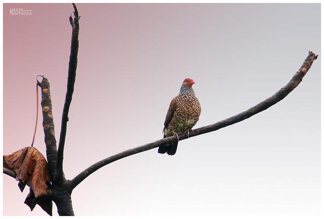 Paloma Escamosa, Columba speciosa, Scaled Pigeon. Puyo, Ecuador