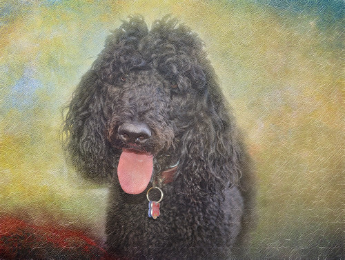 Poodle in Texture