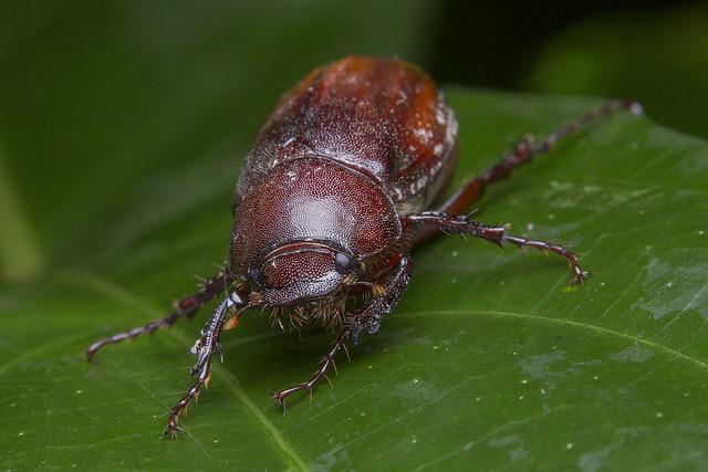 _Z2A0219 june beetle