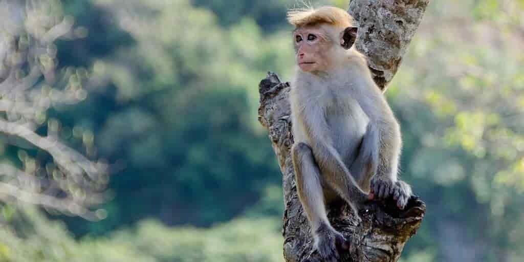 les-singes-ont-une-plus-grande-souplesse-cognitive-que-les-humains