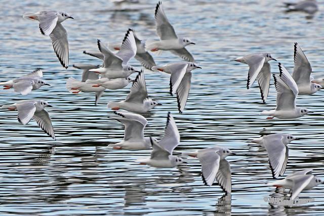 Bonaparte's Gulls 19-1014-0947