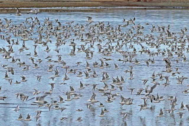 Bonaparte's Gulls 19-1014-0961