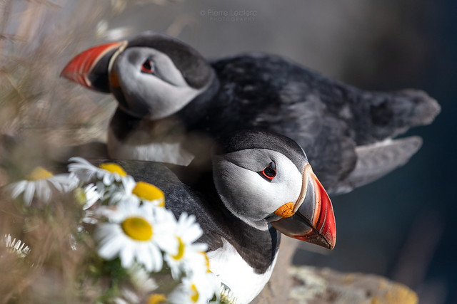 Puffins resting at the edge of the Látrabjarg cliffs in West Iceland