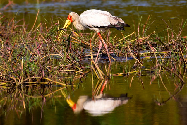DSC_2725 Yellow Billed Stork 4 Okavango Delta 2019_crrsh