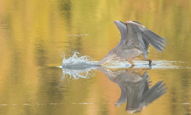 Grand Héron // Great Blue Heron