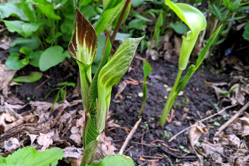 Three jack-in-the-pulpit plants that are just beginning to open.