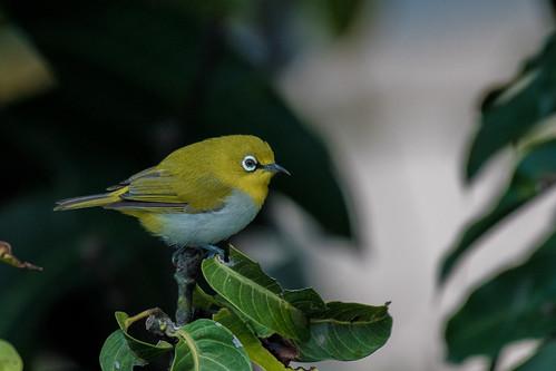 birds nepal ian hearn nikon d500 nikkor 200500 oriental indian whiteeye kathmandu valley ebird nature songbird bird asia lohasal