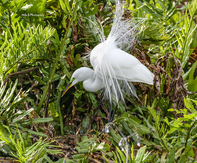 Busy Great egret
