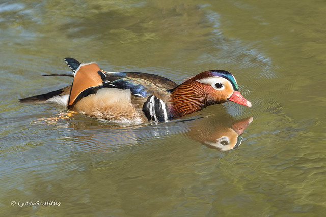 Mandarin Duck - Male 501_9990.jpg