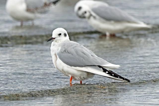 Bonaparte's Gull 19-1014-1120