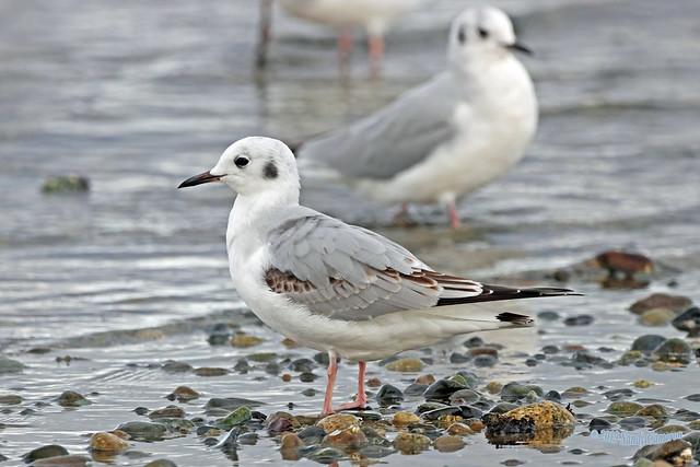 Bonaparte's Gull 19-1014-1157