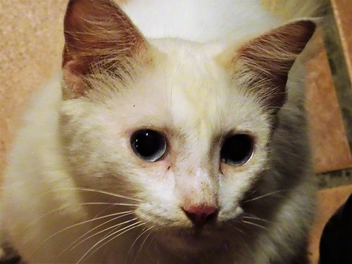 Mexican White Cat