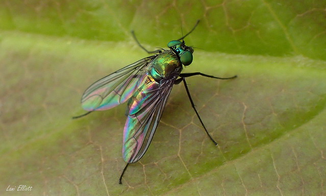 A Metallic Fly