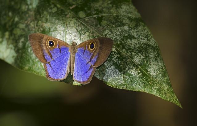 Violet-washed Eyemark - Mesosemia telegone (Riodinidae, Riodininae, Mesosemiini) 111s-2547