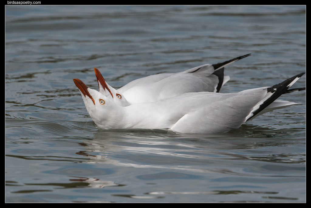 Silver Gull: Cheek to Cheek